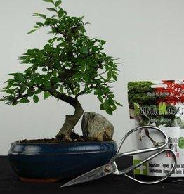 Set regalo Olmo cinese Bonsai, no. G38
