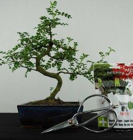 Set regalo Albero del pepe Bonsai, no. G39
