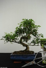 Set regalo Ligustro Bonsai, no. G40