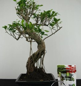 Set regalo di Ficus retusa Bonsai, no. G41