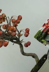 Set regalo Melo Bonsai, no. G43
