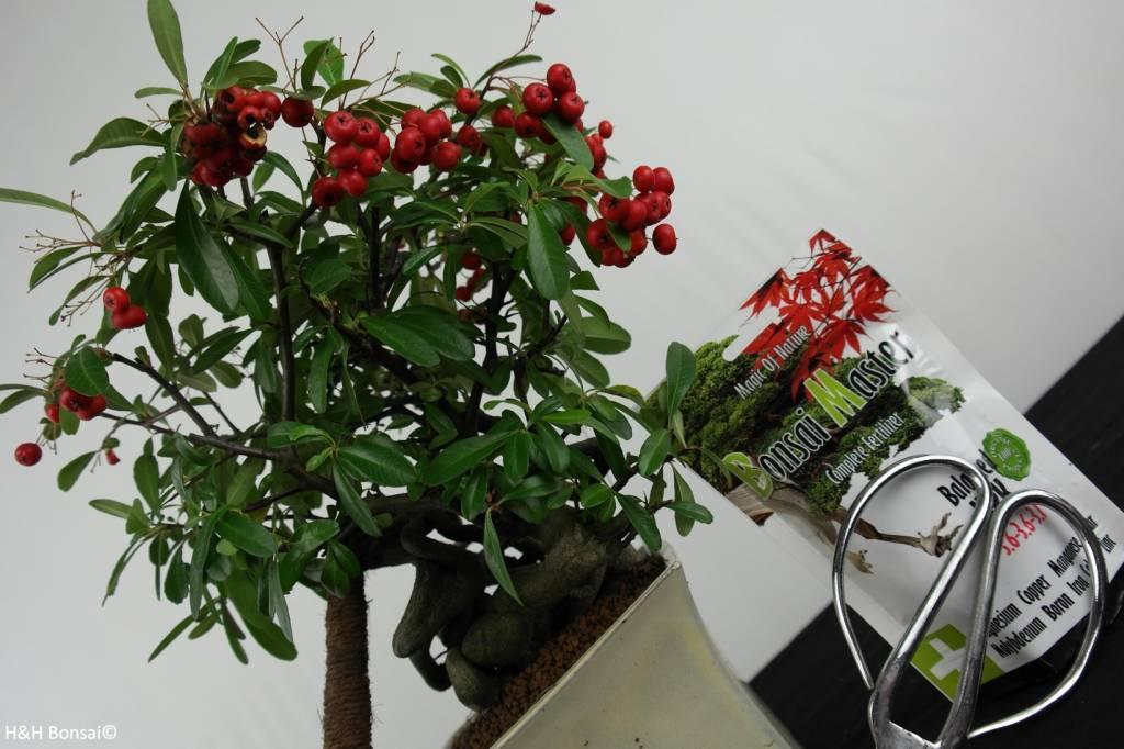 Set regalo Piracanta Bonsai, no. G48