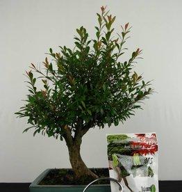 Bonsai gift set Syzygium, no. G49