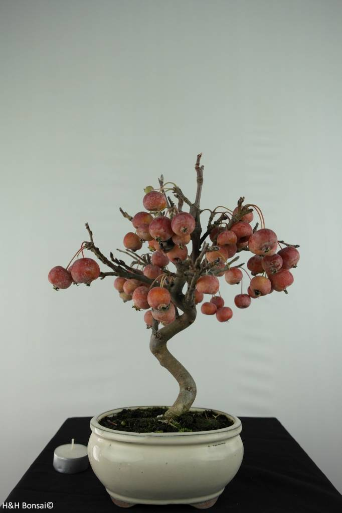 Bonsai Hall crab apple, Malus halliana, no. 6610