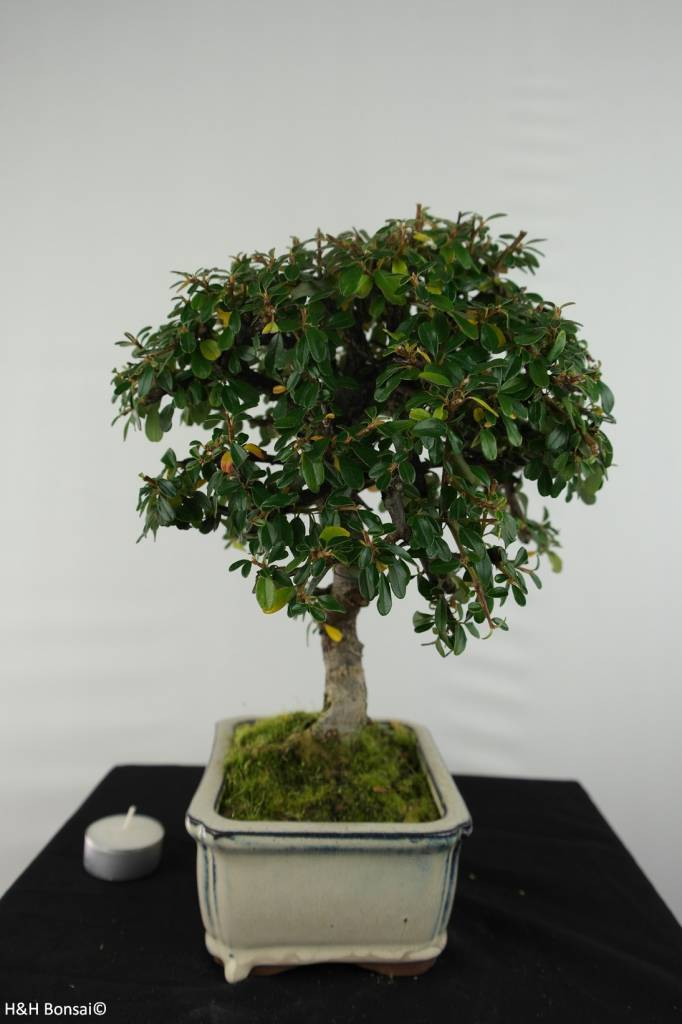Bonsai Cotoneaster, no. 6617