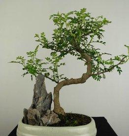 Bonsai Albero del pepe, Zanthoxylum piperitum, no. 6665