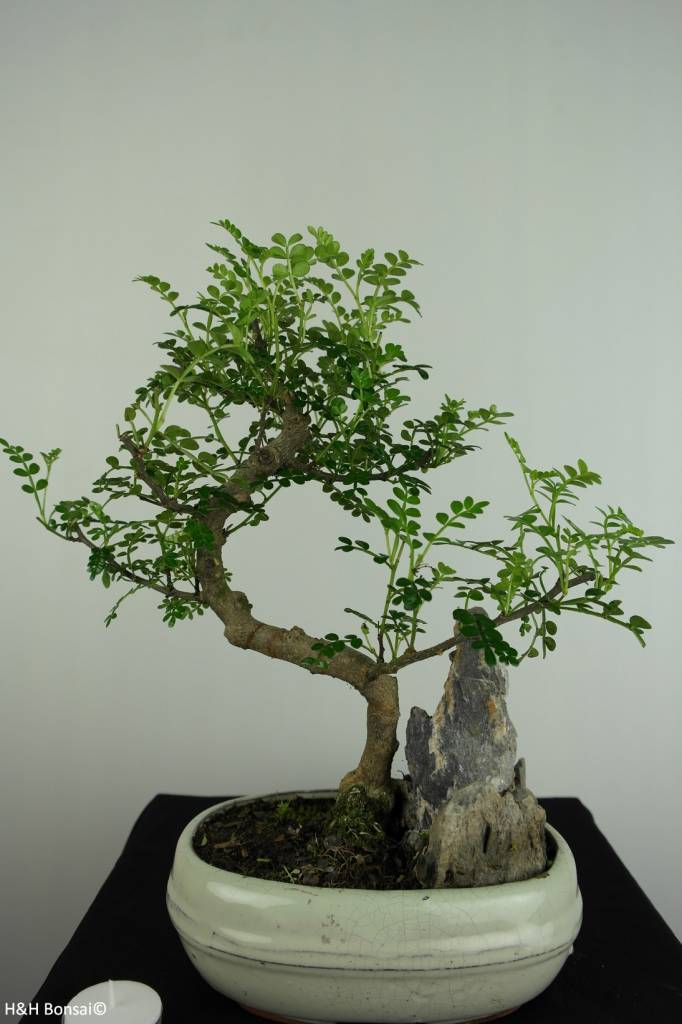 Bonsai Japanese Pepper, Zanthoxylum piperitum, no. 6665
