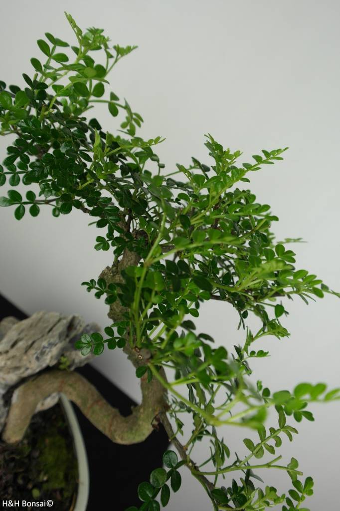 Bonsai Japanese Pepper, Zanthoxylum piperitum, no. 6666