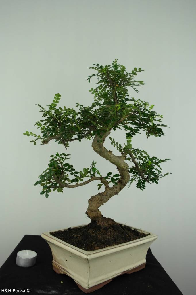Bonsai Japanese Pepper, Zanthoxylum piperitum, no. 6694