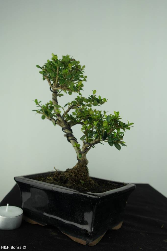 Bonsai Japanese Holly, Ilex crenata, no. 6747