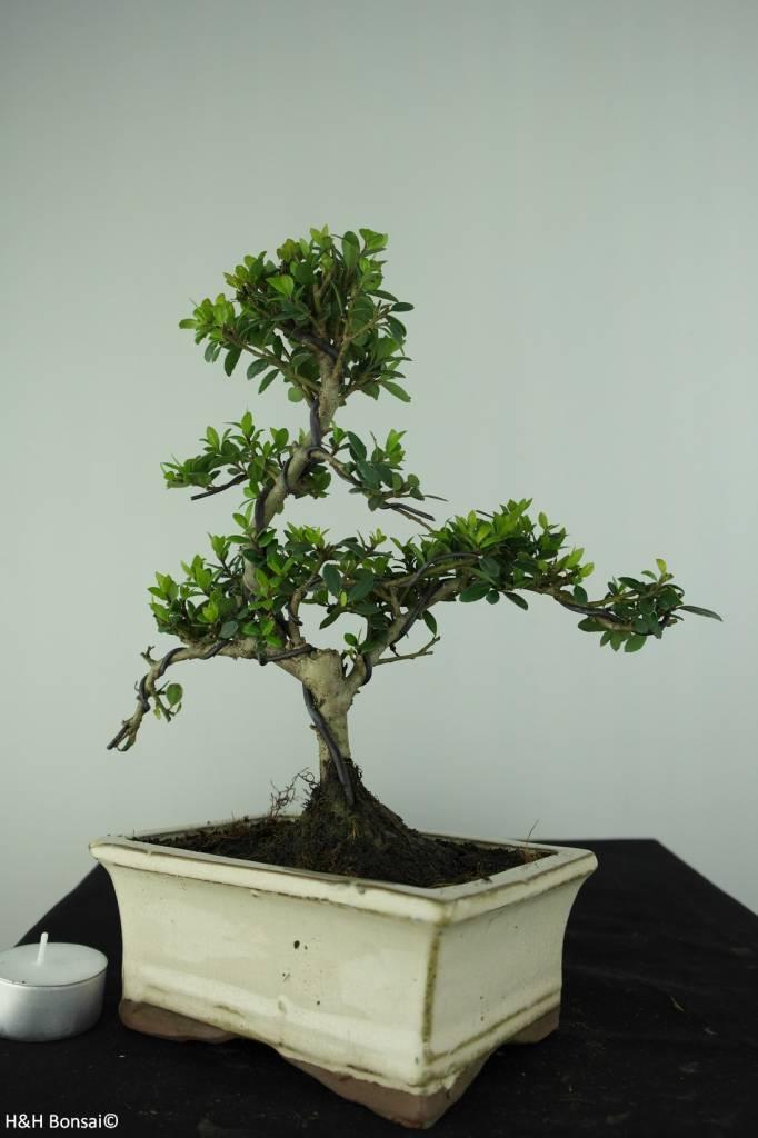 Bonsai Japanese Holly, Ilex crenata, no. 6751