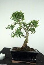 Bonsai Japanese Holly, Ilex crenata, no. 6756