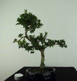 Bonsai Ilexcrenata, no. 6888