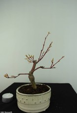 Bonsai Japanese maple, Acer Palmatum, no. 6894