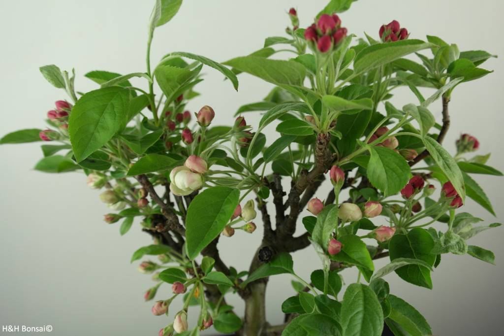 Bonsai Melo, Malus halliana, no. 6612