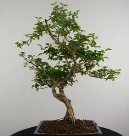 Bonsai Ligustro, Ligustrum sinense, no. 6986