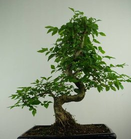 Bonsai Ligustro, Ligustrum nitida, no. 6991