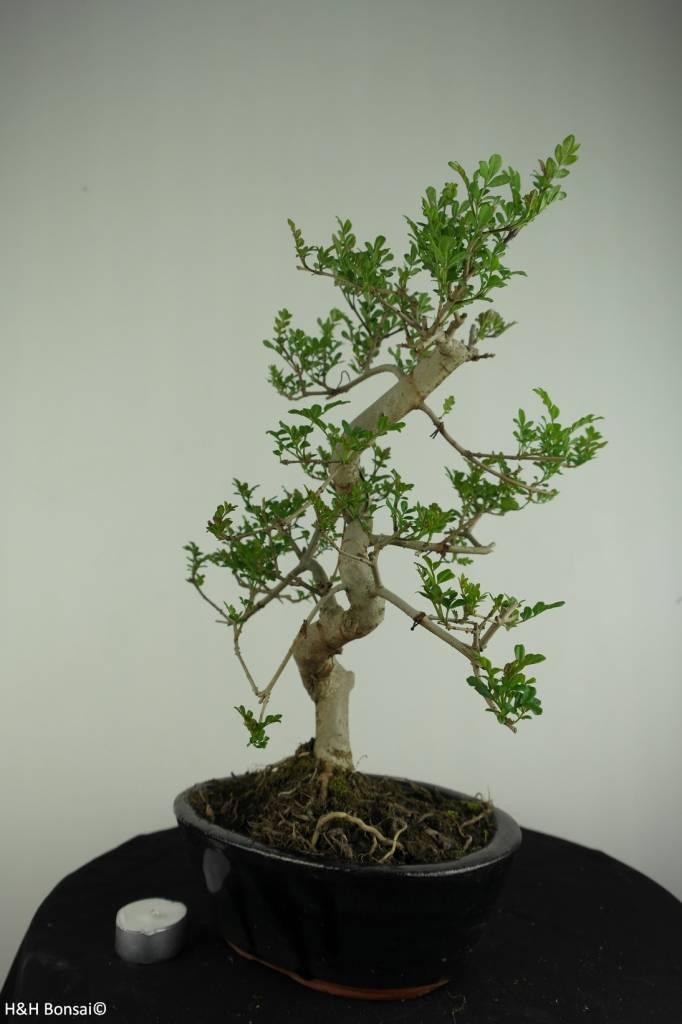 Bonsai Ash tree, Fraxinus sp., no. 6700