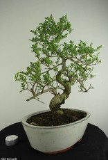 Bonsai Ash tree, Fraxinus sp., no. 6730