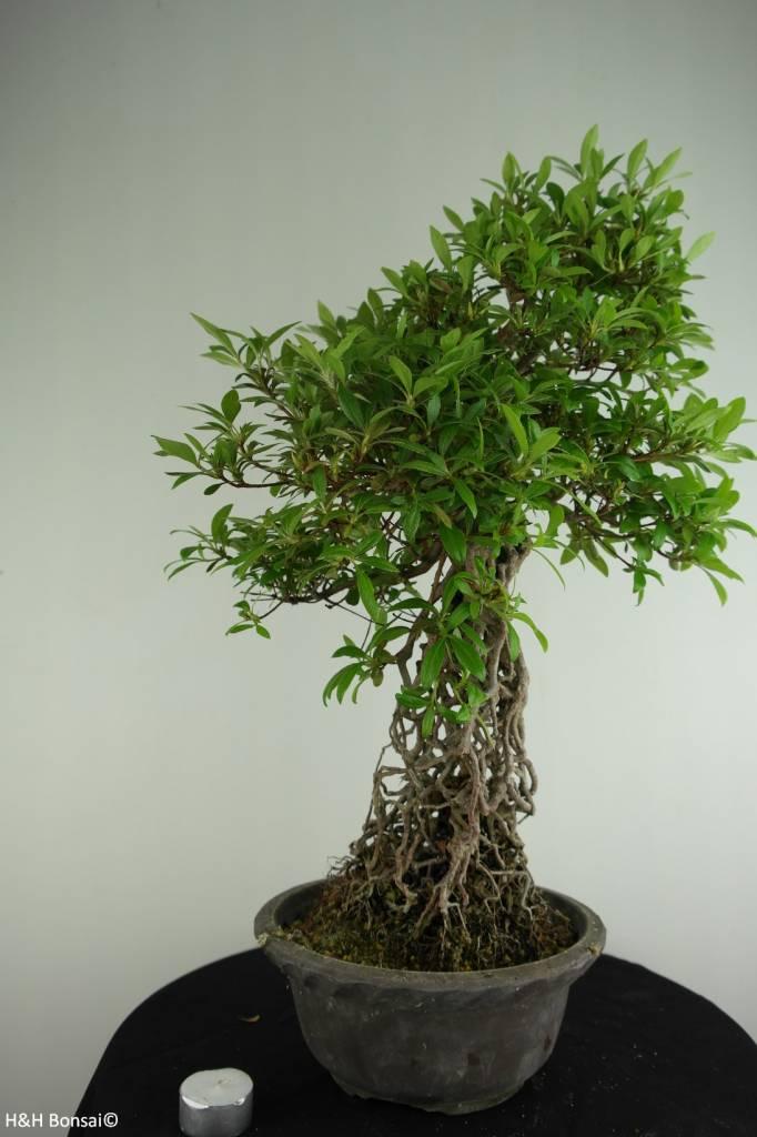 Bonsai Azalea Satsuki Seiko, no. 6787