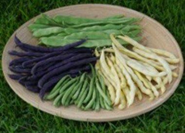 Bonen (P. vulgaris)