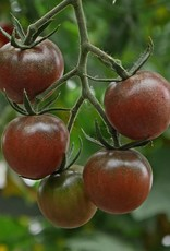 Tomaat Black Cherry