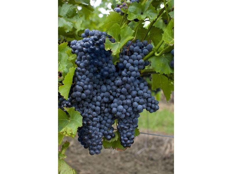 Rode Wijnsaus Syrah