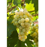 Malvasia Wijn Saus uit Sicilië, ambachtelijk bereid