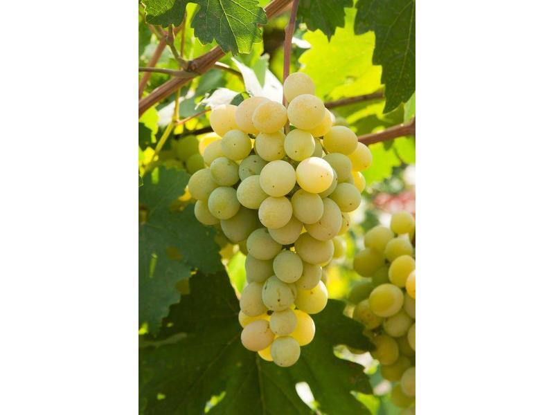 Witte Wijnsaus Malvasia