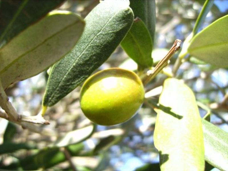 Biologische Extra Vergine Olijfolie uit Sicilië