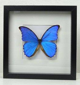 XL Vlinder in lijst, Blauw, 25x25cm