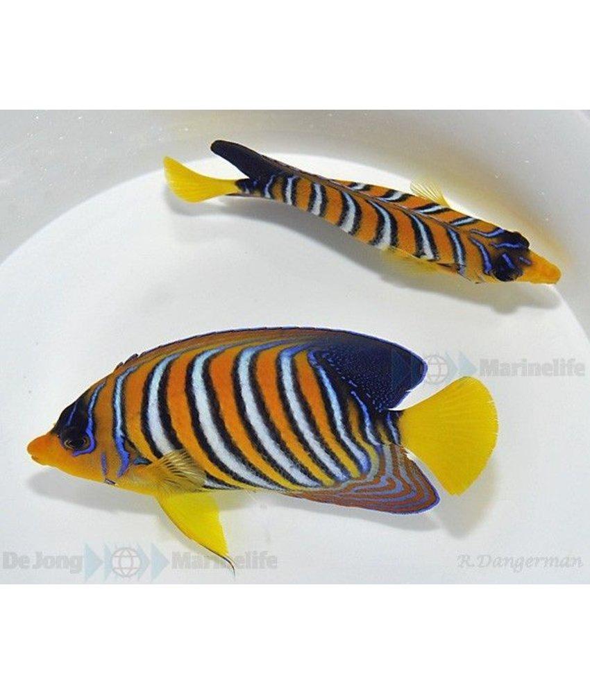 Pygoplites diacanthus (Indian/Red sea)
