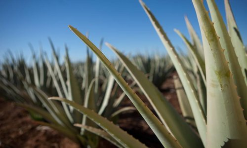 Ten reasons why you should use Aloe Vera in 2018