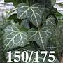 Klimop-Hedera Helix 150/175