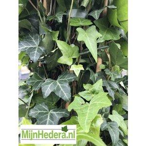 Kleinbladige Hedera Helix 150/175