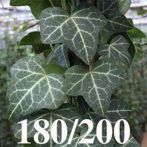Hedera Helix 180/200