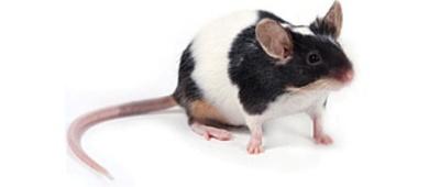 Menselijk taalgen verbetert leervermogen van muis