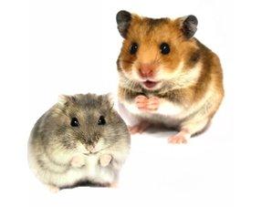 Hamster Informatie