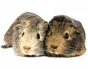 two guinea pigs together