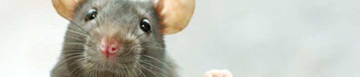 Bonte Ratten en hun Oorsprong
