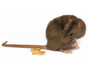 Ratten Snacks