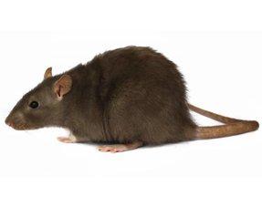 Ratten Informationen