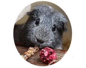 guinea pig snack and information about guinea pigs