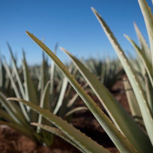 Ten reasons why you should use Aloe Vera in 2017
