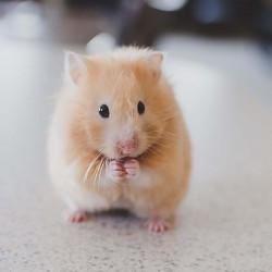 Een goedkope hamsterkooi kopen