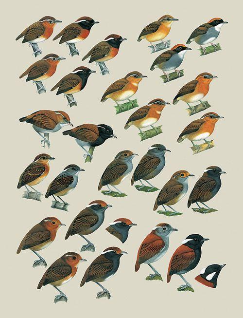 Handbook Of The Birds World 8