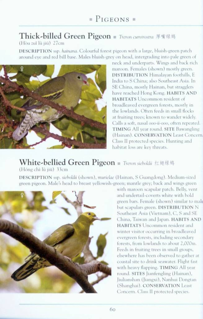 Green pigeon hunting