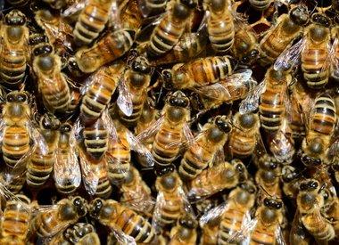 Bijen, wespen en mieren