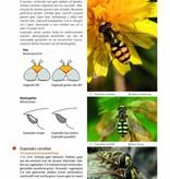Zweefvliegen van Nederland en België