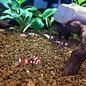 Onlineaquarium spullen Crystal red Grad A t/m S+